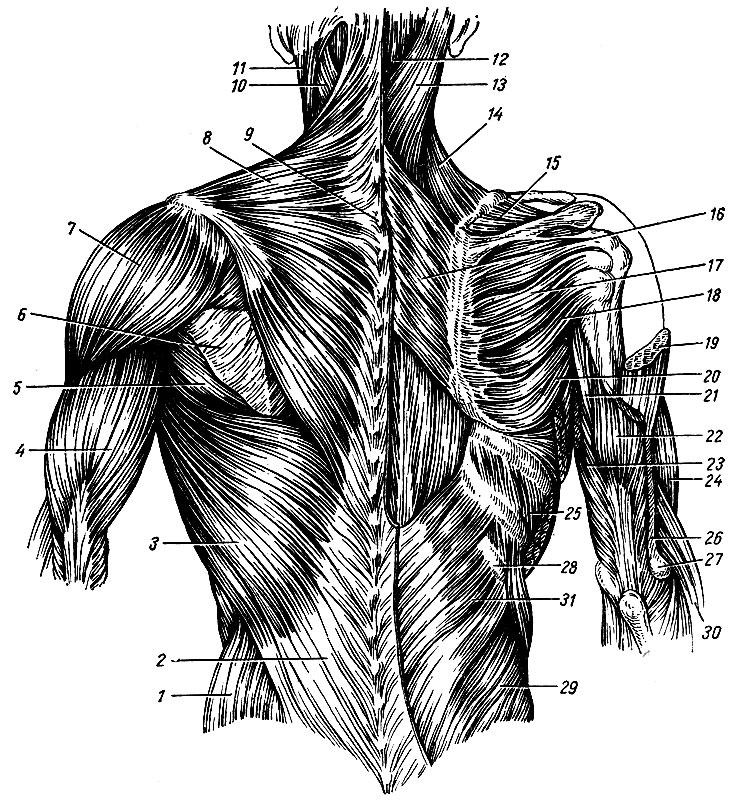 Поверхностные мышцы спины в картинках