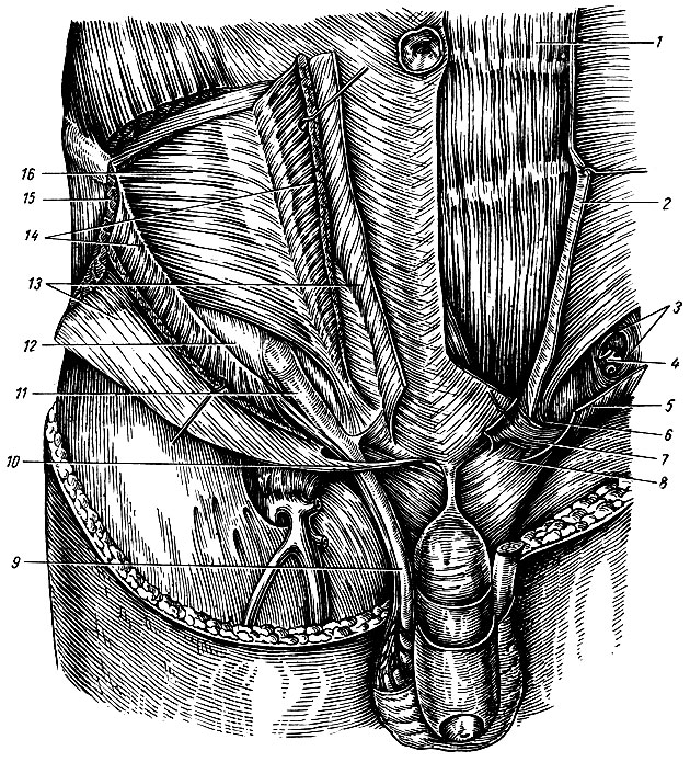 паховый канал анатомия человека