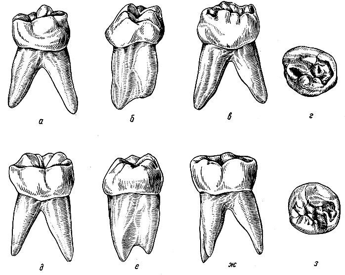 широкую рисунок зубов человека именно этим объясняется