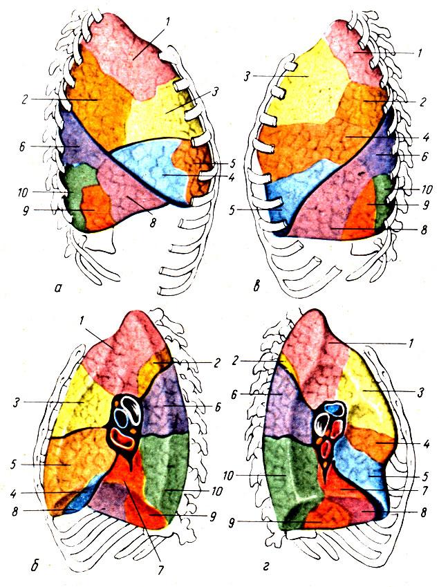 Рис. 127. Сегментарное строение легких. а, б - сегменты правого легкого, вид снаружи и изнутри; в, г - сегменты левого легкого, вид снаружи и изнутри. 1 - верхушечный сегмент; 2 - задний сегмент; 3 - передний сегмент; 4 - латеральный сегмент (правое легкое) и верхний язычковый сегмент (левое легкое); 5 - медиальный сегмент (правое легкое) и нижний язычковый сегмент (левое легкое); 6 - верхушечный сегмент нижней доли; 7 - базальный медиальный сегмент; 8 - базальный передний сегмент; 9 - базальный латеральный сегмент; 10 - базальный задний сегмент