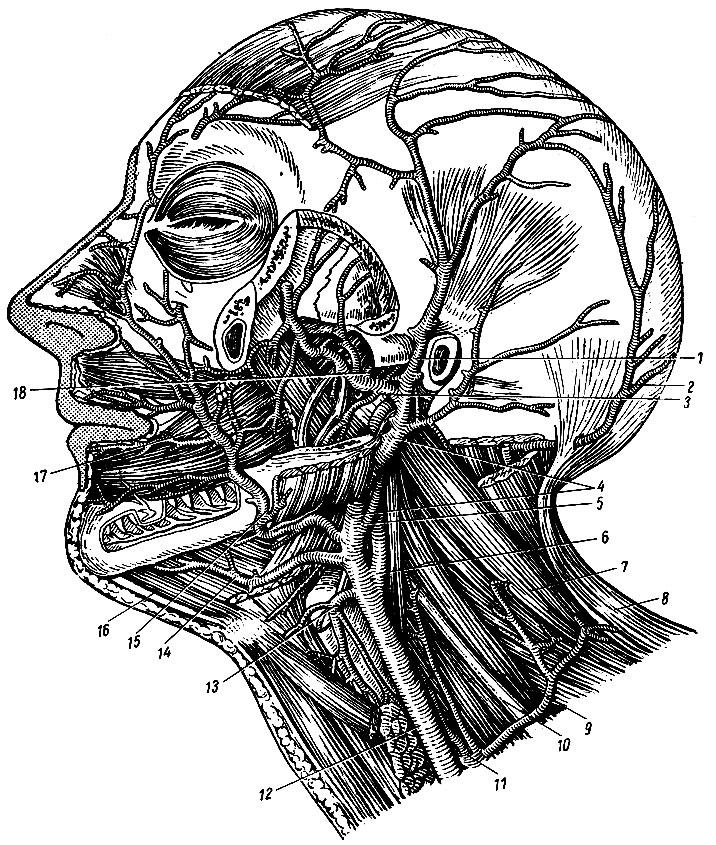 Строение сосудов в голове и шеи в картинках